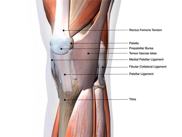 knä muskler och ligament delar märkta på vit bakgrund - knäskål bildbanksfoton och bilder