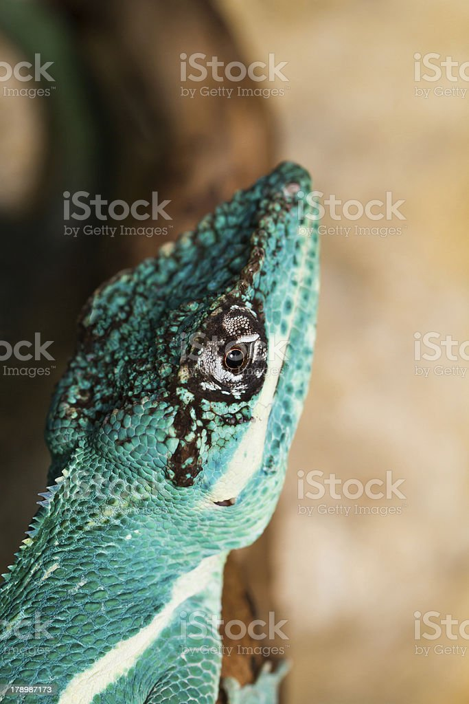 Knight Anole royalty-free stock photo