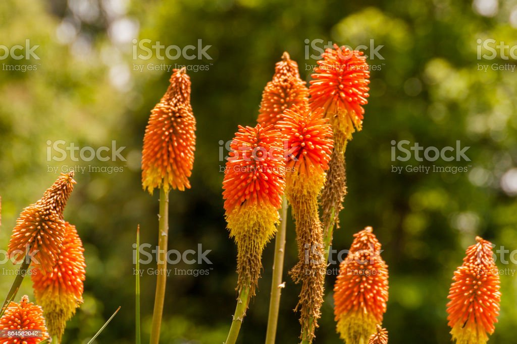 Kniphofia also called tritoma, red hot poker, torch lily, knofflers or poker plant, is a genus of flowering plants in the family Asphodelaceae. stock photo