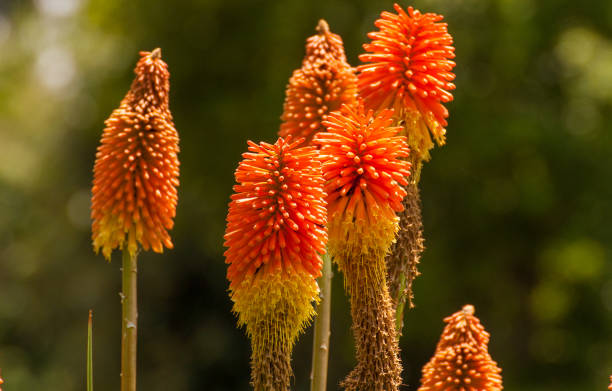 Kniphofia also called tritoma, red hot poker, torch lily, knofflers or poker plant, is a genus of flowering plants in the family Asphodelaceae.