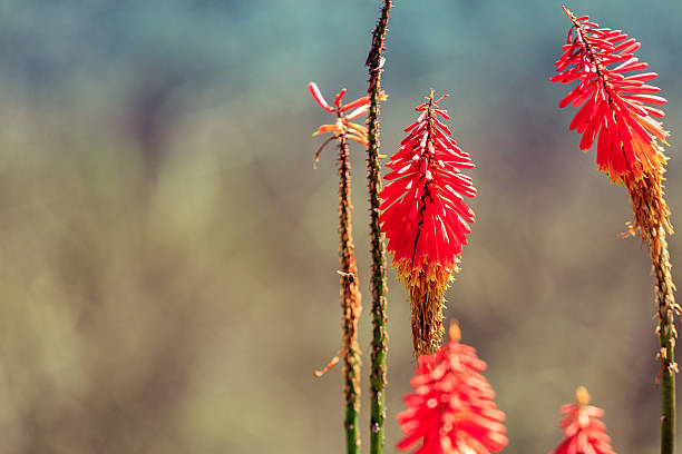 Kniphofia flowers, close up, focus on flowers, bokeh, colombia, stock photo