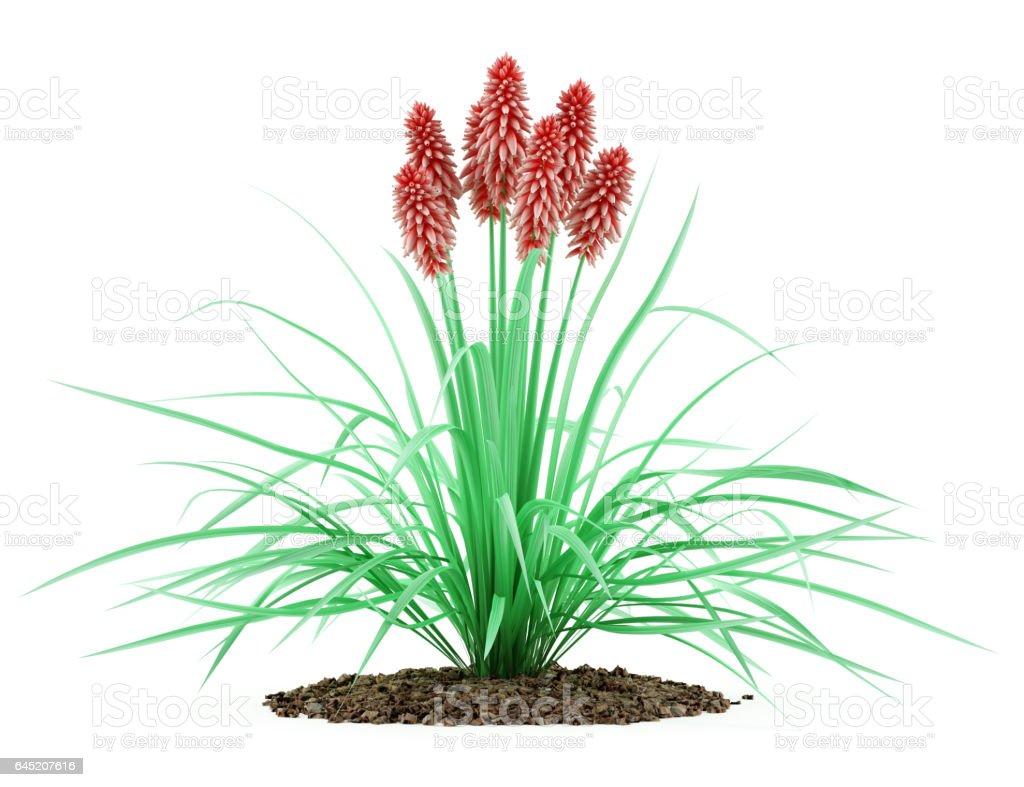 kniphofia plant isolated on white background stock photo