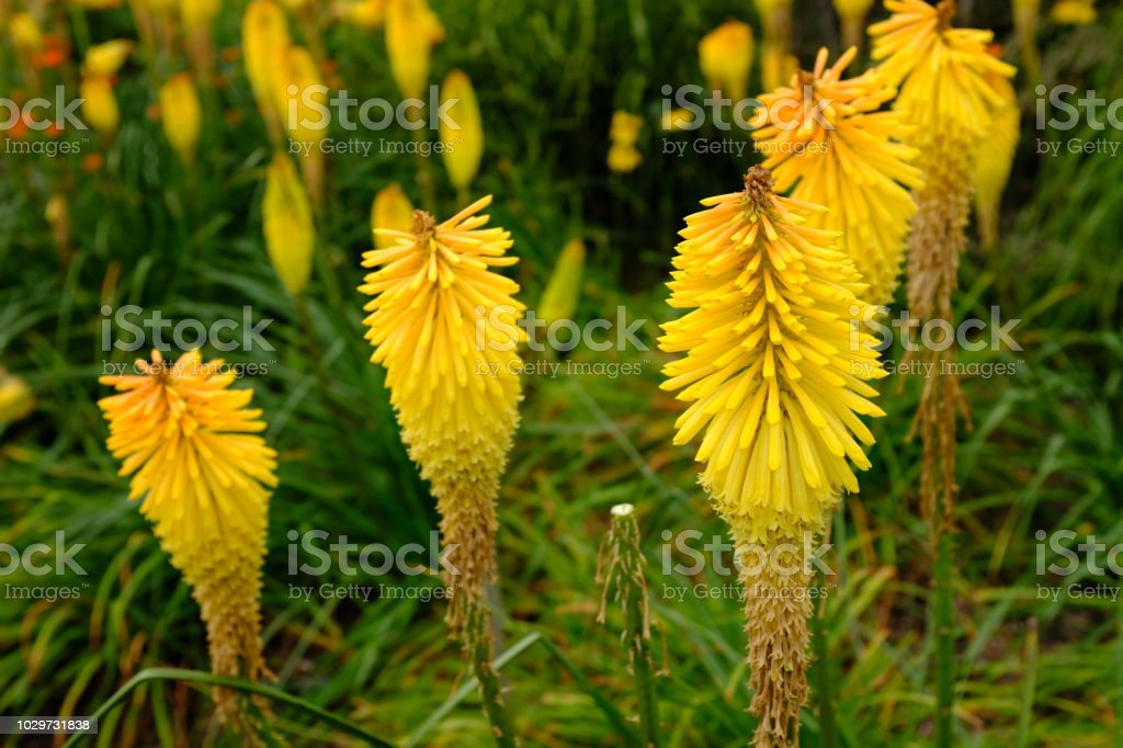 Kniphofia Wrexham Buttercup A Deciduous Perennial With Bright Yellow