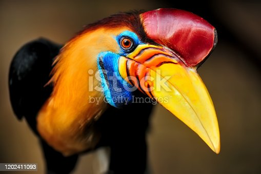 close-up portrait of a knobbed hornbill (Rhyticeros cassidix) also known as Sulawesi Wrinkled Hornbill