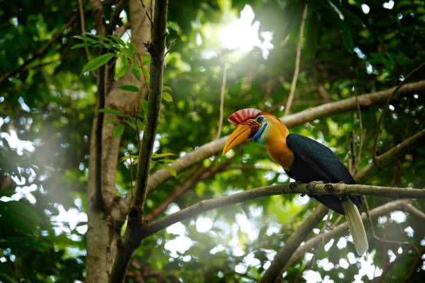 Knobbed Hornbill, Rhyticeros cassidix, from Sulawesi, Indonesia. Rare exotic bird by the nest, sitting on the branch in the green tropic forest. Hornbill in Tangkoko NP in Asia. Wildlife nature. stock photo