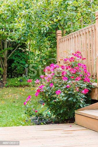 Knock out rose bush in the garden at backyard near patio, selective focus