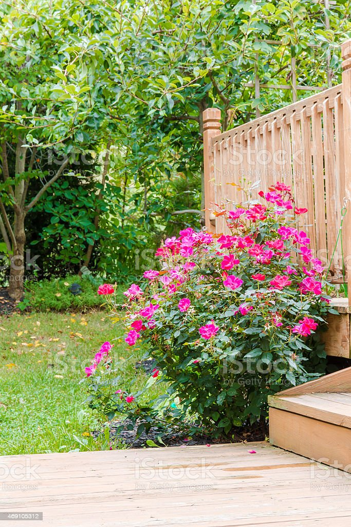 Knock out rose bush in the garden stock photo