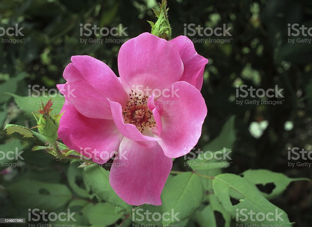 Knockout Rose Closeup royalty-free stock photo