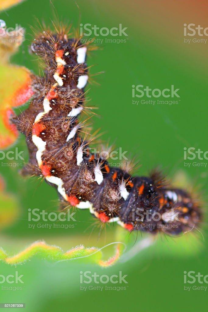 Knotgrass moth Acronicta rumicis caterpillar stock photo