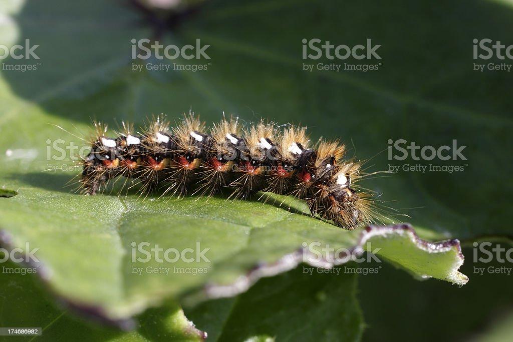 Knotgrass moth caterpillar Acronicta rumicis stock photo