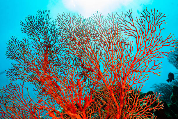 Knotted Fan Coral Melithaea ochracea, Back Light, Misool, Indonesia stock photo