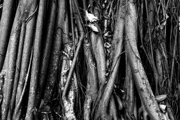 Knotted roots of a tree. Image process contain exessive noise or grain. Black and white image stock photo
