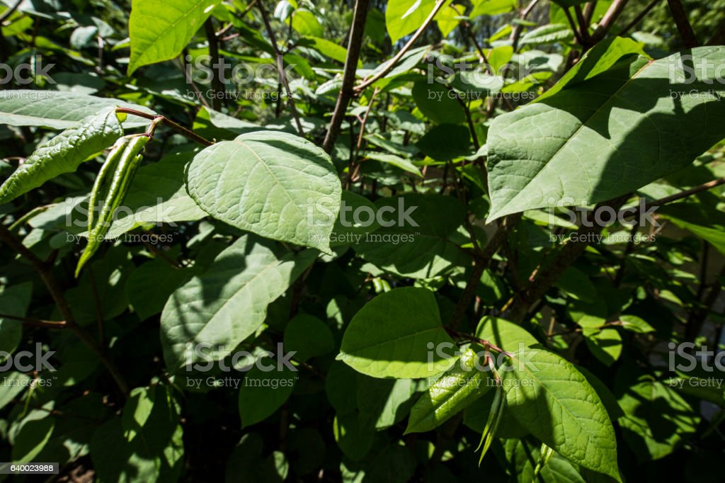 Knotweed, an invasive species in Connecticut, in spring. stock photo
