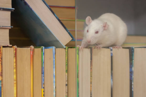 knowledge of the concept. white rat in the bookcase. symbol stock photo