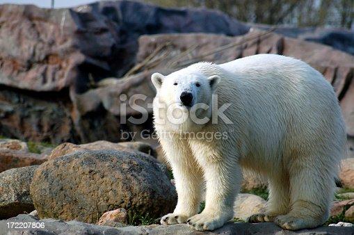 Polar bear in a wildlife park in Germany.It