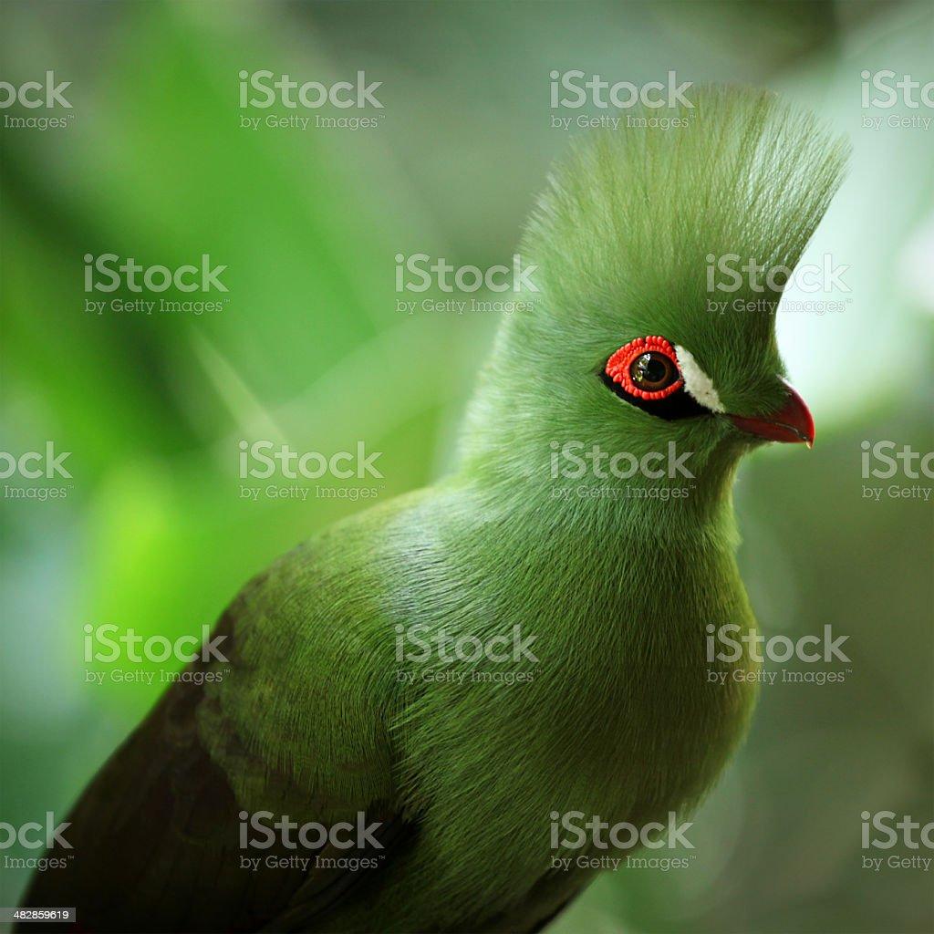 Knysna Turaco , or- in South Africa- Knysna Lourie. Birds of Eden,...