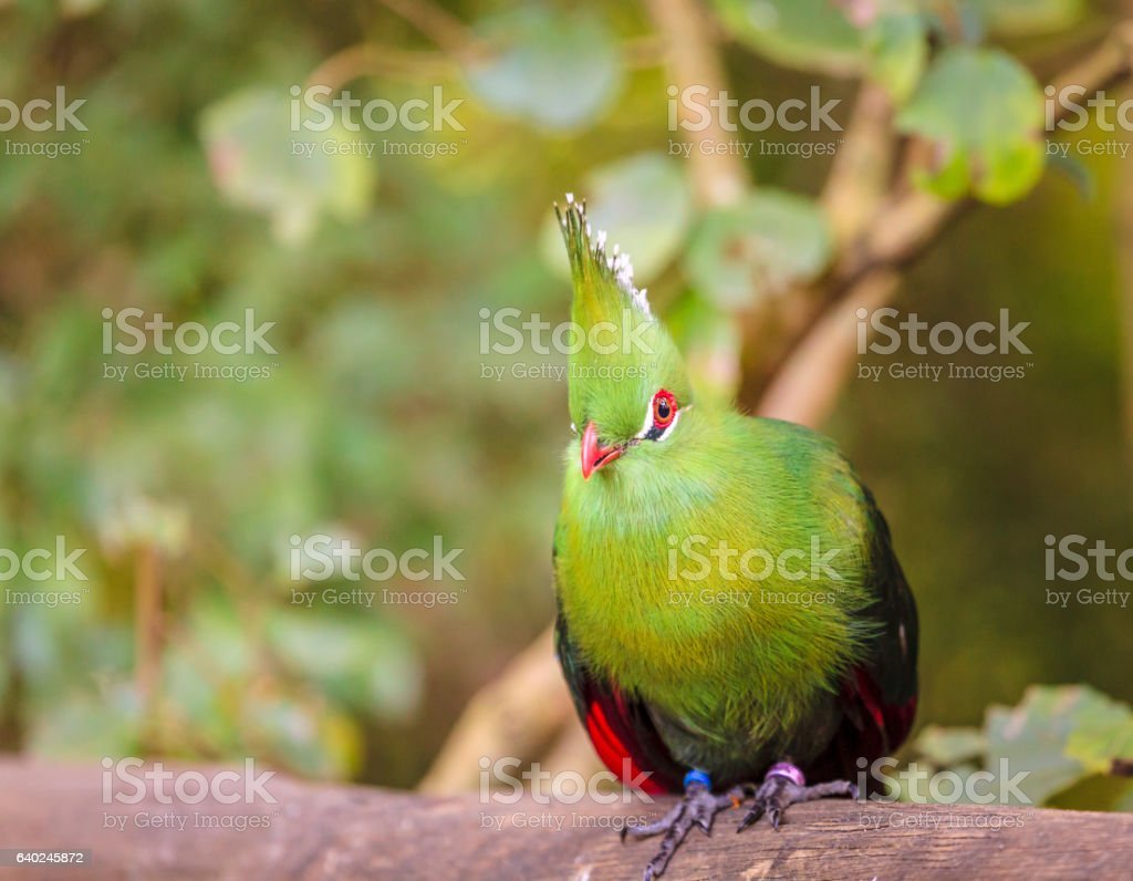 Knysna Turaco stock photo