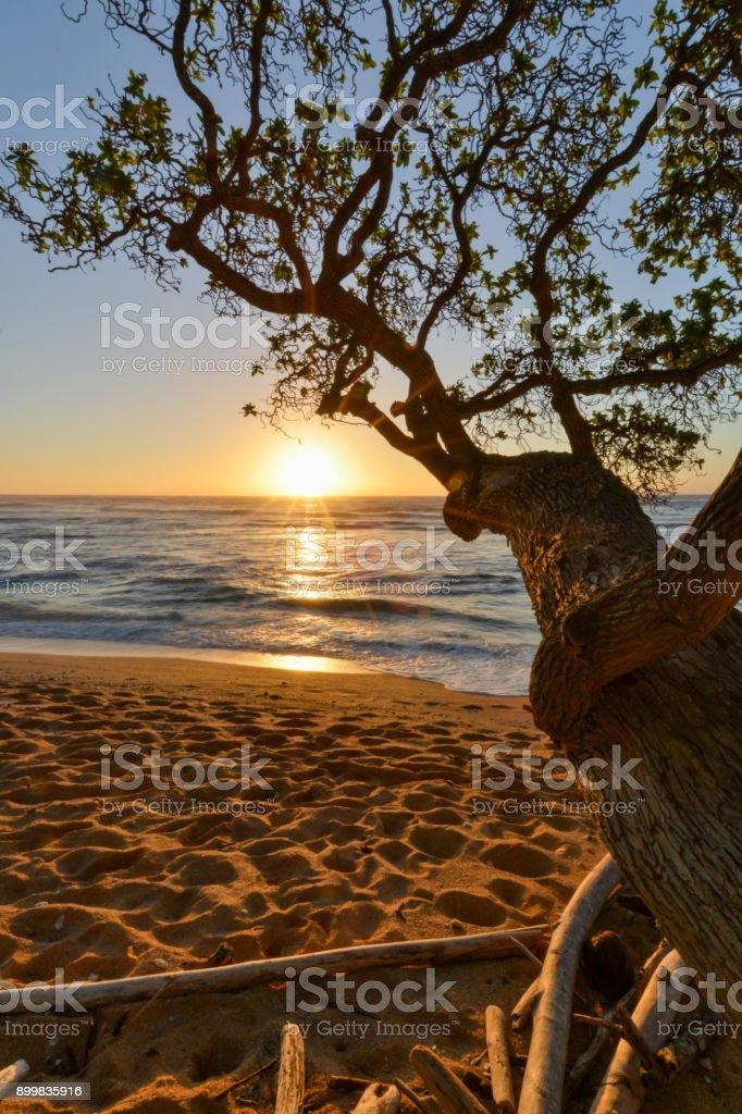 Koa Tree Frames Golden Sunrise In Kauai Hawaii Stock Photo More