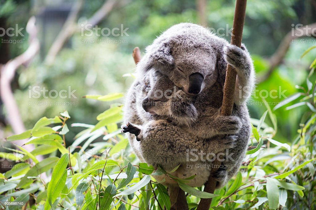 Koala and her joey stock photo