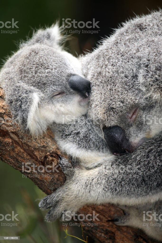 Koala and infant royalty-free stock photo