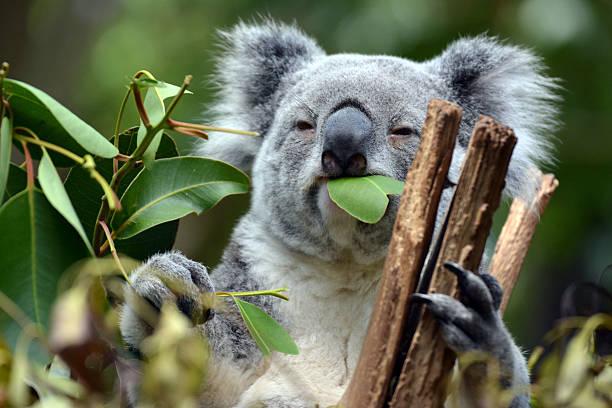 Koala at Lone Pine Koala Sanctuary in Brisbane, Australia Koala at Lone Pine Koala Sanctuary in Brisbane, Australia koala stock pictures, royalty-free photos & images