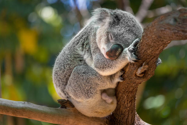 Koala, Australia A cute Koala bear in a Eucalyptus tree, bushland Victoria, Australia. herbivorous stock pictures, royalty-free photos & images