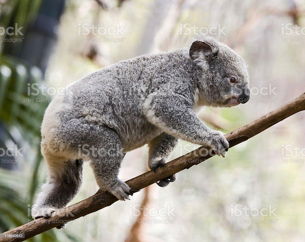 koala balance royalty-free stock photo