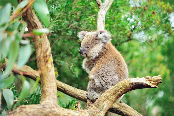 koala bear australian, animal - faul ast stock-fotos und bilder