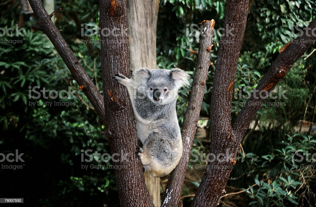 Koala bear climbing a tree stock photo