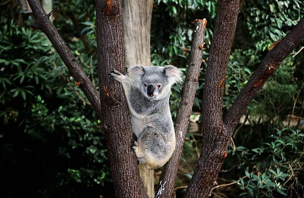 Koala bear climbing a tree  koala stock pictures, royalty-free photos & images
