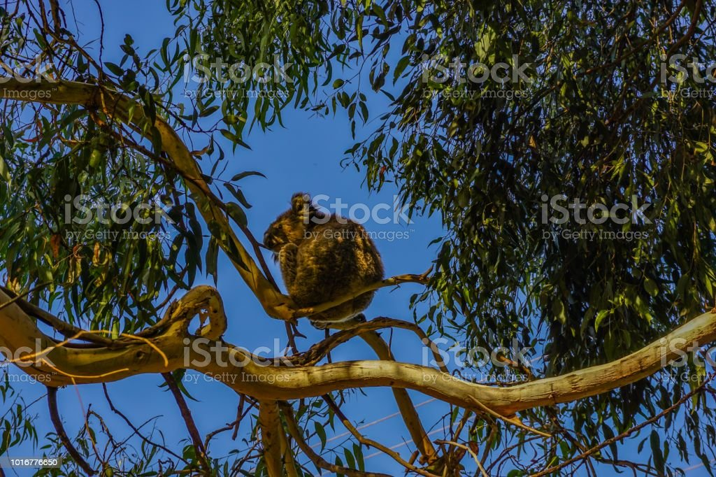 Koala bear in a wonderful tree stock photo