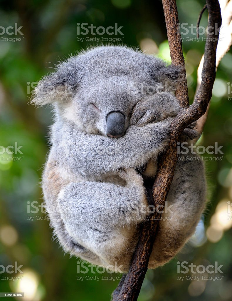 Koala bear in tree sleeping during the day stock photo
