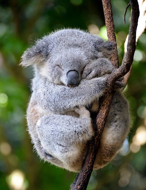 Koala bear in tree sleeping during the day  koala asleep in gum tree koala stock pictures, royalty-free photos & images