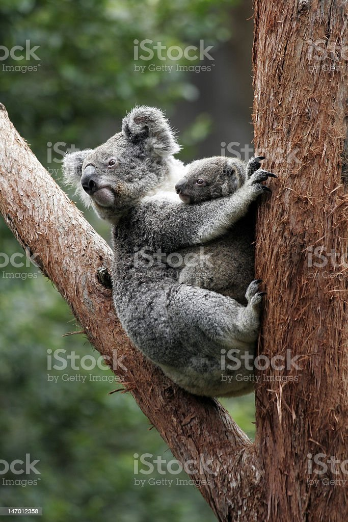 Koala Bear Mother And Baby royalty-free stock photo