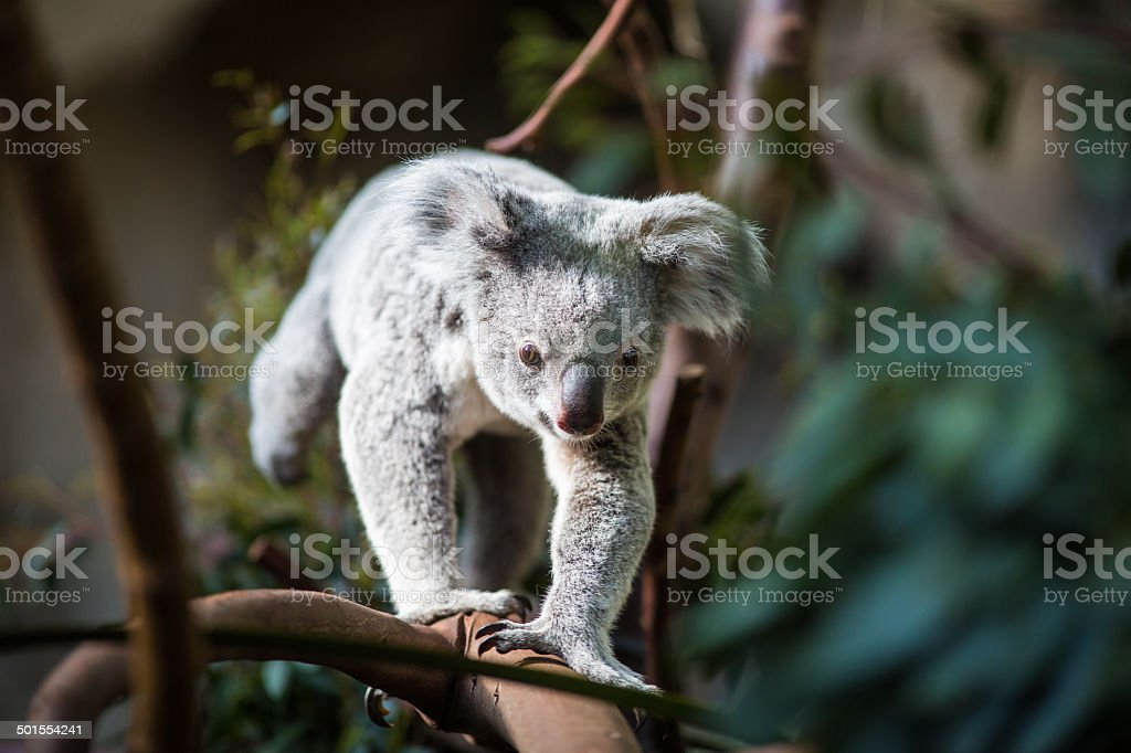 Koala bear on a tree stock photo