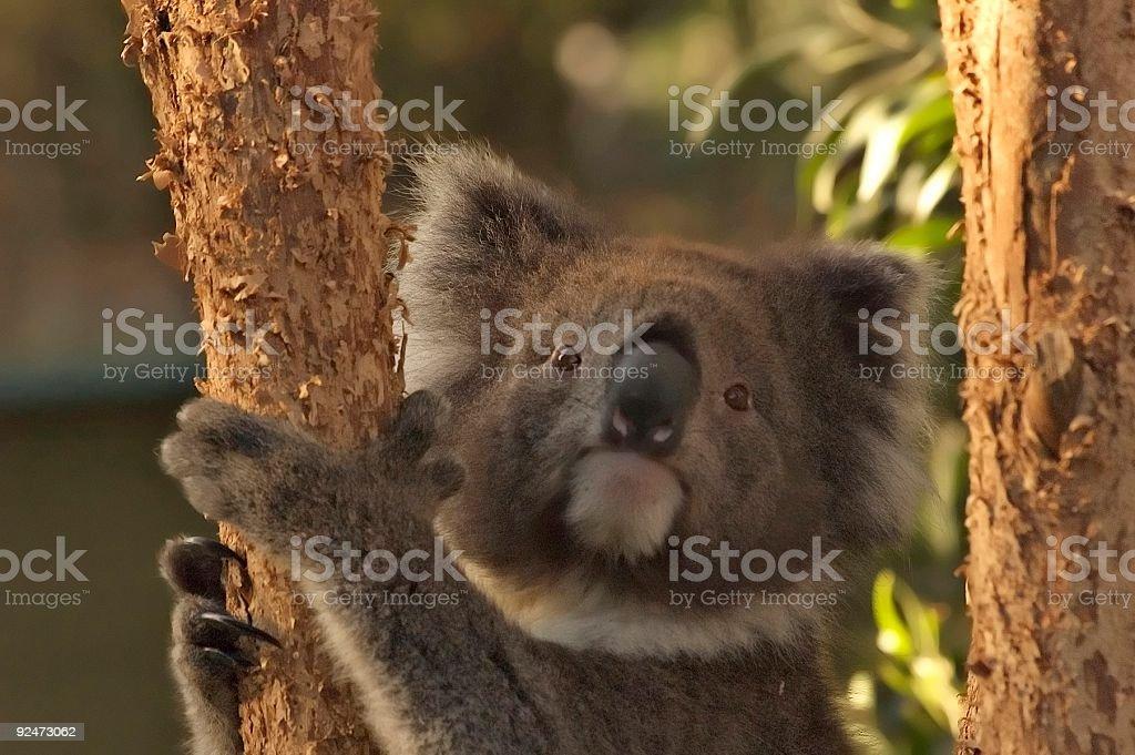 Koalabär Lizenzfreies stock-foto