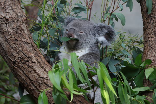 Koala bear sitting on a tree. Eating eucalyptus leafs. stock photo