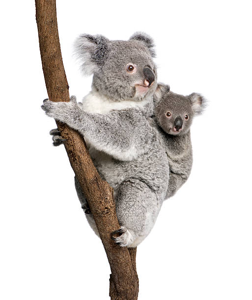 Koala bear with child climbing a branch Koala bears climbing tree, 4 years old and 9 months old, Phascolarctos cinereus, in front of white background. koala stock pictures, royalty-free photos & images