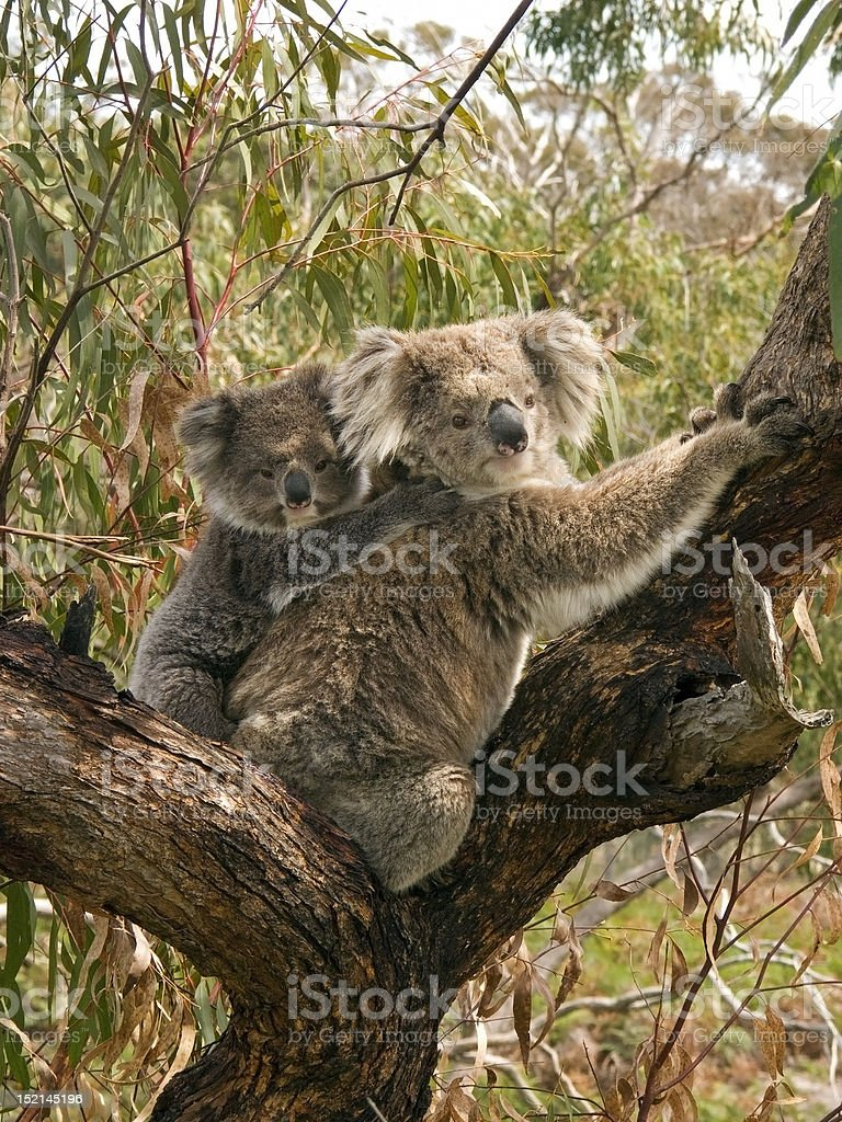 Koala bears climbing tree royalty-free stock photo