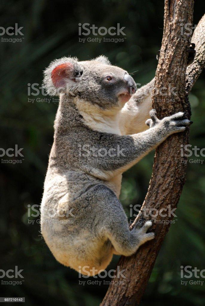 Koala climbing eucalyptus tree stock photo