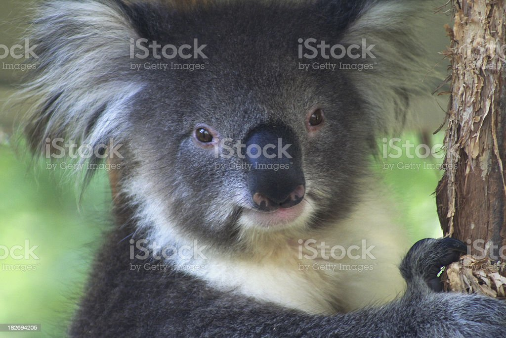 Koala Down Under royalty-free stock photo