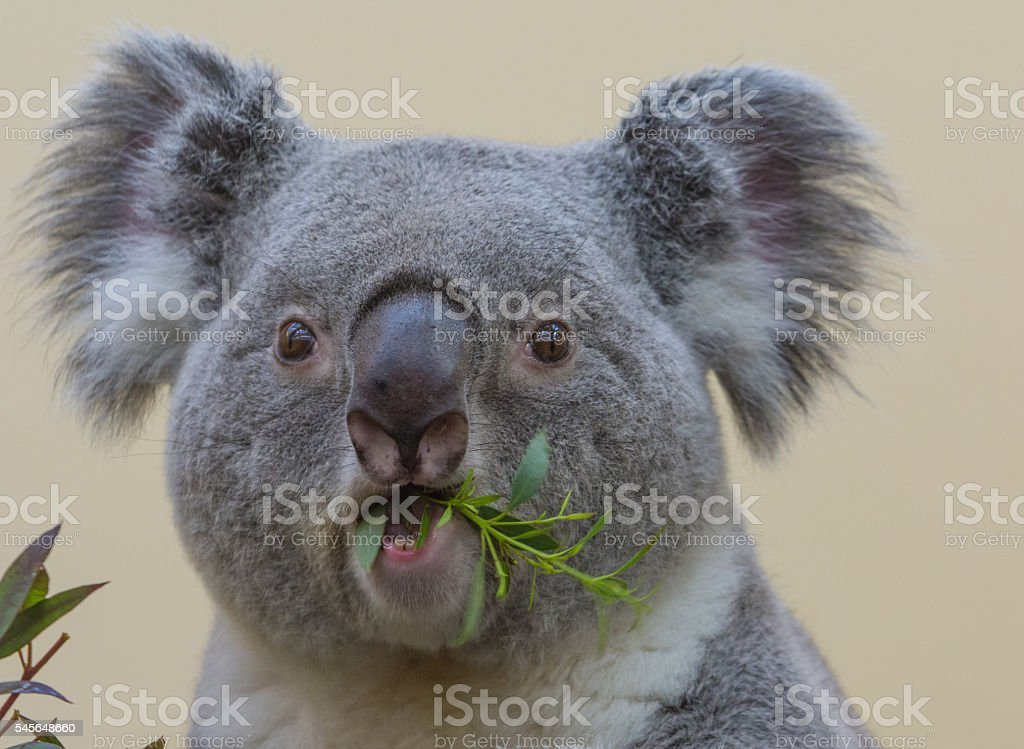 Koala eating - Closeup stock photo