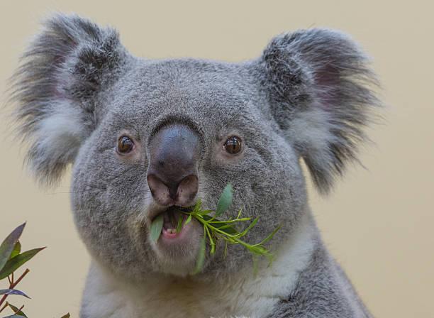 Koala eating - Closeup – Foto