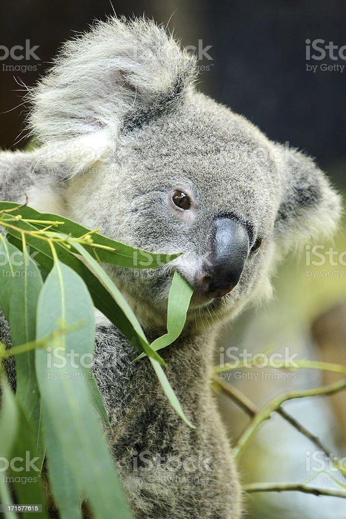 Koala eating Eucalyptus leaf royalty-free stock photo
