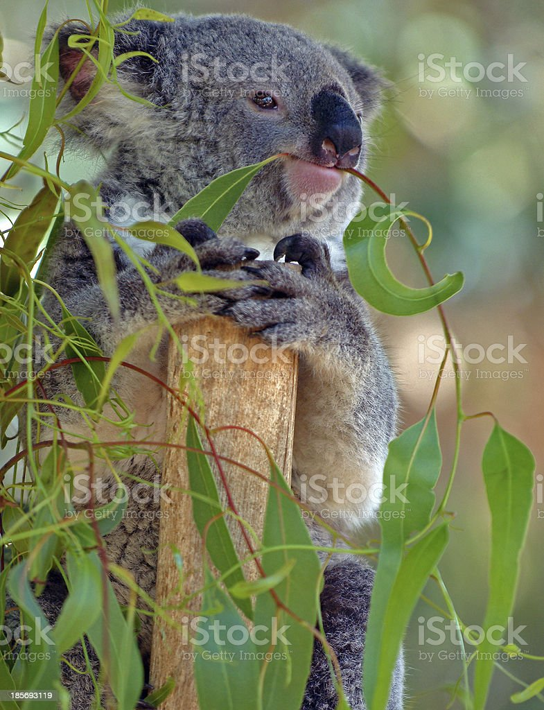 Koala eating gum leaves in a tree royalty-free stock photo