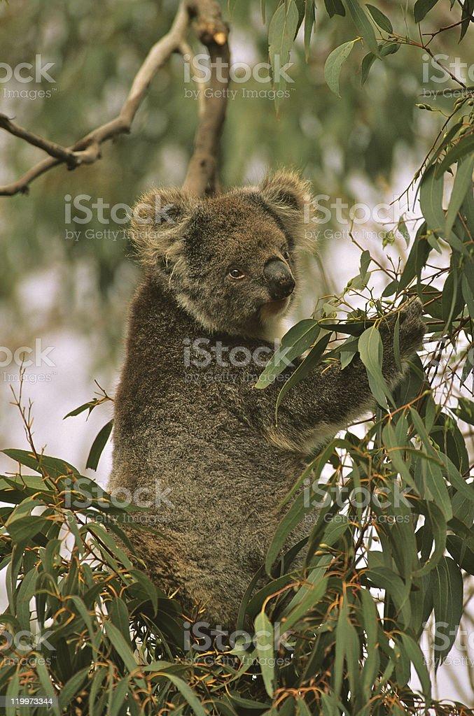 Koala Eating royalty-free stock photo