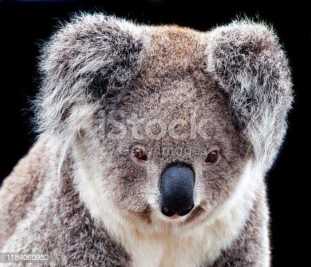 portrait of an australian koala