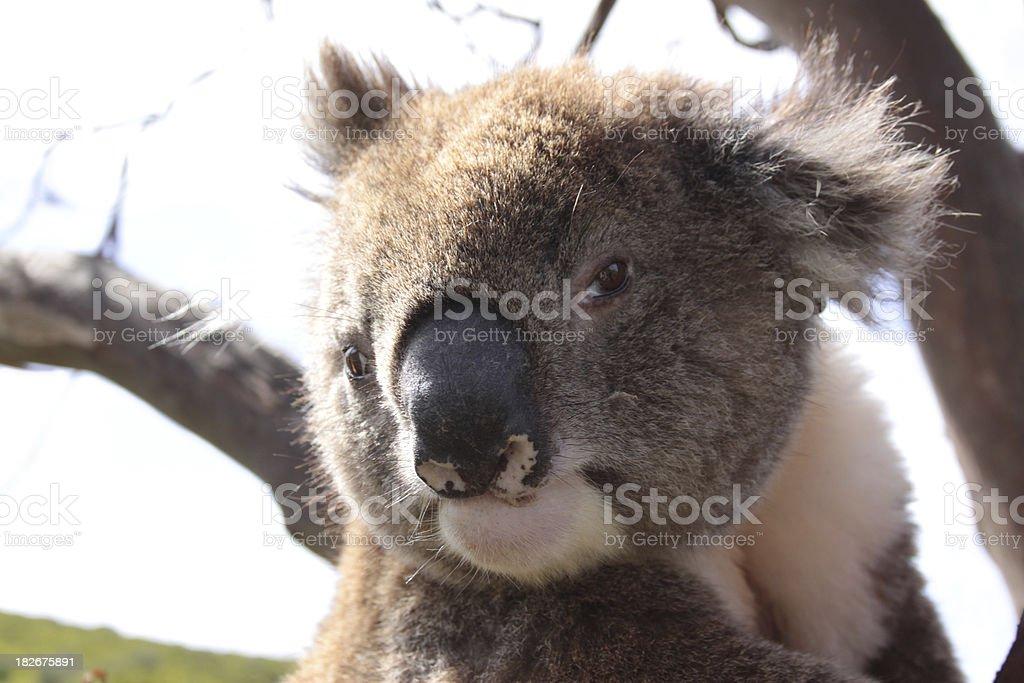 Koala face royalty-free stock photo