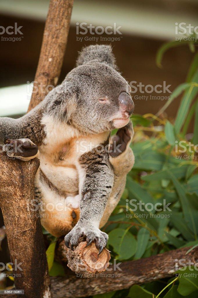 Koala having a scratch stock photo