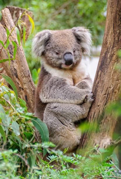 Koala - Healesville stock photo
